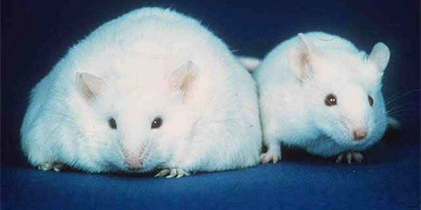 Differences Among Fat-Storage in Mice